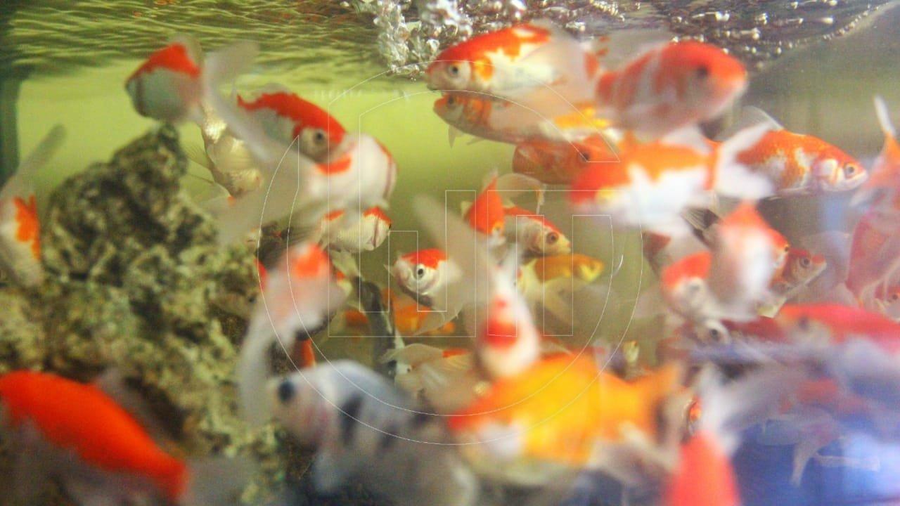 Penjualan Ikan Hias Meningkat