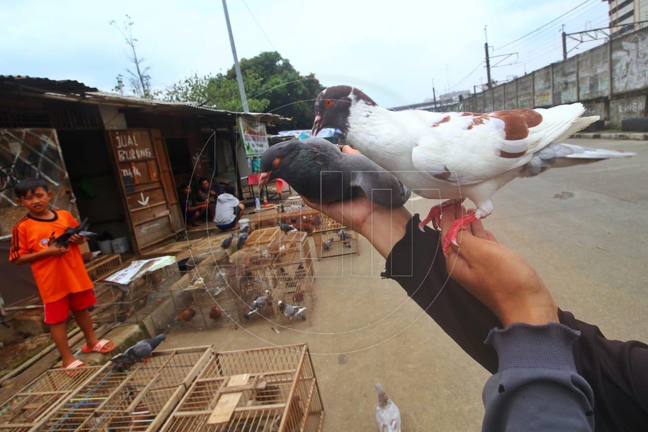 Eksistensi Burung Merpati Kolongan