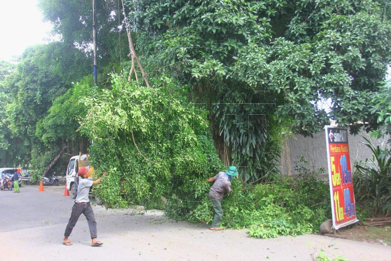 Antisipasi Pohon Tumbang Saat Musim Hujan