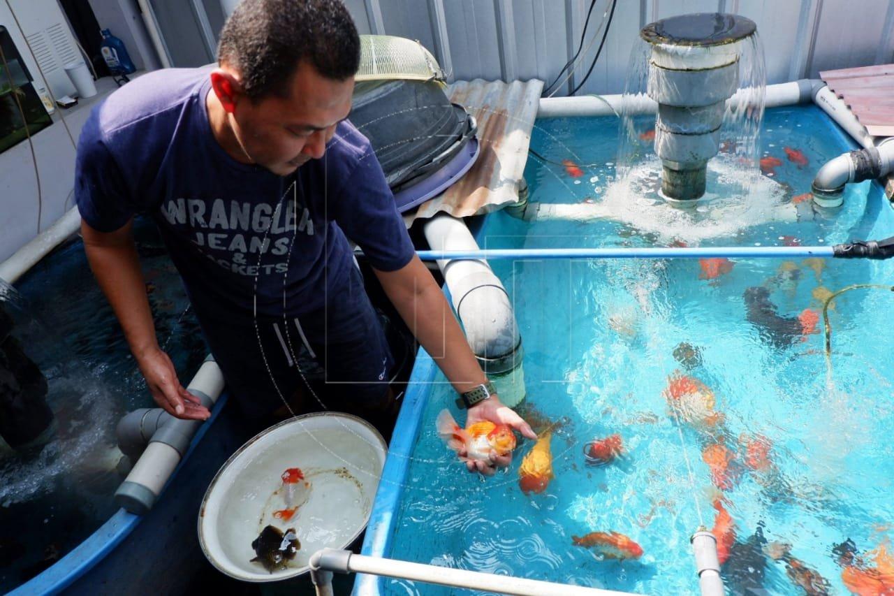 Budidaya Ikan Hias Mas Koki Yang Menggiurkan